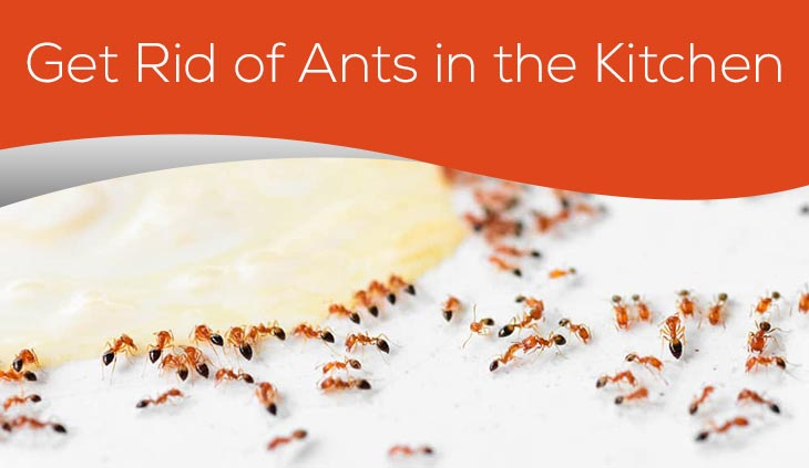 Get Rid of Ants in the Kitchen